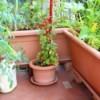 Condo Gardening - container veggie garden on a balcony
