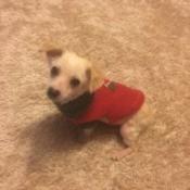 Is My Dog a Chiweenie?