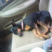 Finding a Vet that Takes Payments - black and tan dog on seat of a car