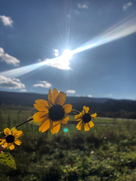 Some bright yellow Black-eyed Susan blossoms with the sun in the distance.