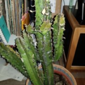 Identifying a Cold Damaged Cactus - splotchy, yellowing cactus