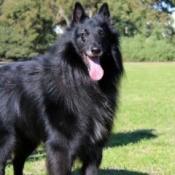 Skipper (Belgian Shepherd Groenendael) - large black dog