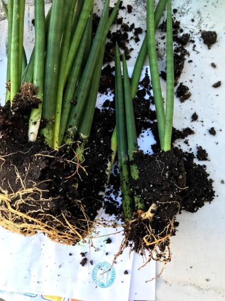 Dividing Potted Plants - dividing