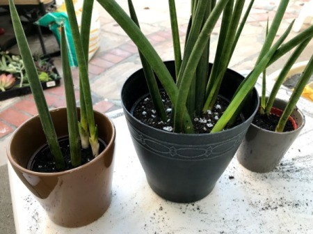 Dividing Potted Plants - repotted