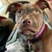 Determining the Age of a Red Nose Pit Bull Puppy