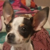 Is My Dog a Pure Bred Chihuahua or Mixed? - closeup