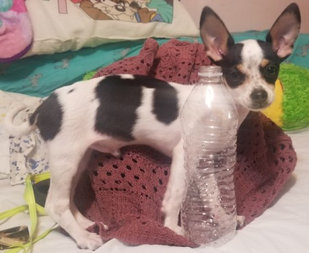 Is My Dog a Pure Bred Chihuahua or Mixed? - black and white Chihuahua