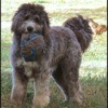 Otis (Sheepadoodle) - with destroyed ball