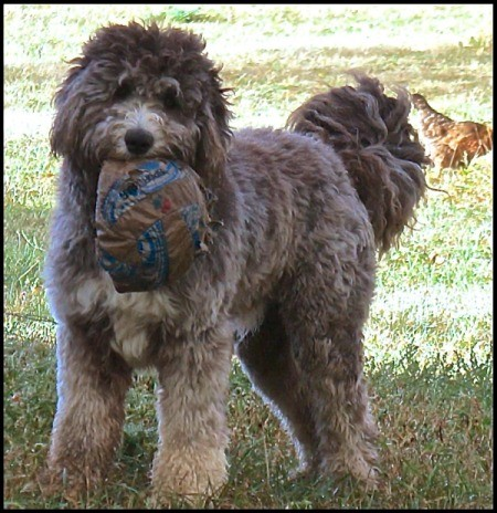 A large fluffy dog holding a toy in his mouth.