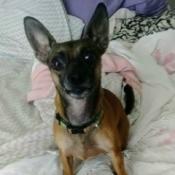 Rosie (Chihuahua Min-Pin Mix)