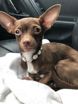 Protecting Healthy Dogs from Puppy with Parvo - dark brown Chihuahua