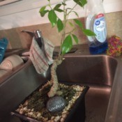Identifying a Houseplant - thick stemmed plant with thin branches with shiny green leaves