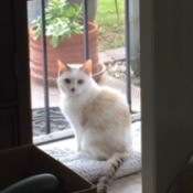 Lucy (Dilute Calico Cat) - Lucy sitting by the security door