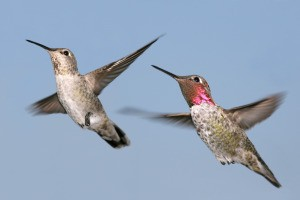A male and female Anna's hummingbird in flight with a background of blue sky.