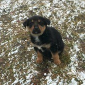 Is My Puppy a Purebred GSD? - tricolor puppy in the snow