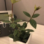 Identifying a Houseplant   - plant with red stems and dark and light green striped leaves