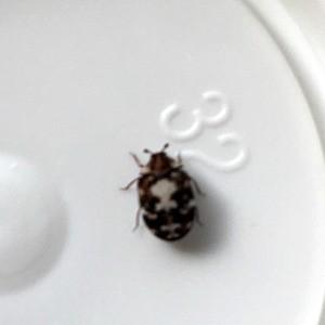 Identifying a Bug - small bug with dark splotches