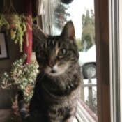 Patton (Domestic Shorthair) - gray and black tabby colored cat