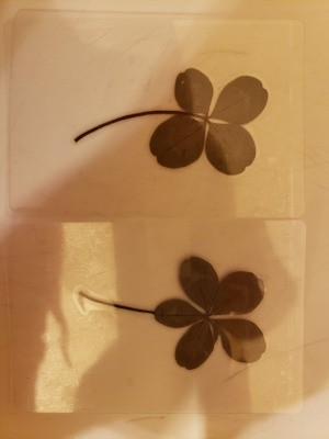 Value of Old Dried 4 and 5 Leaf Clovers