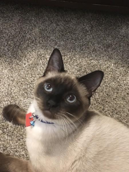 Coco (Siamese Shorthair) - seal point Siamese cat