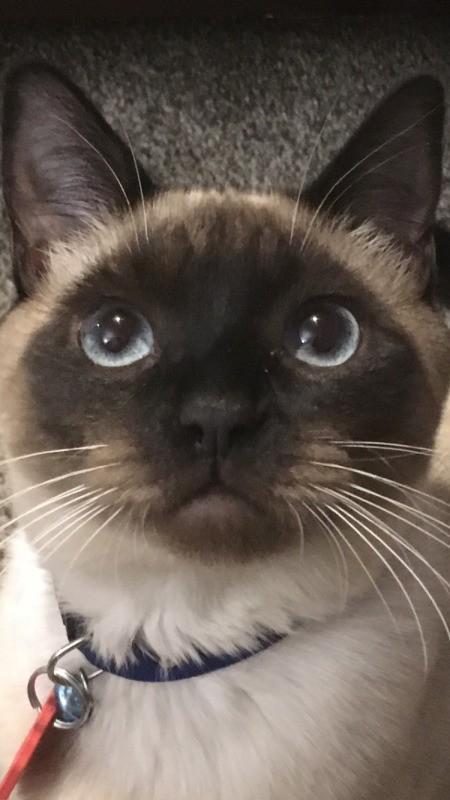 Coco (Siamese Shorthair)