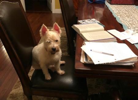 Scarlett Ann Duvall Cotton (West Highland Terrier) - Westie on a dining chair