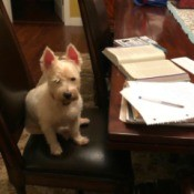Scarlett Ann Duvall Cotton (West Highland Terrier) - Westie on a dining chair