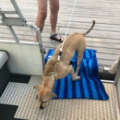 Using a towel to help the dog with the fear of the gap between boat and dock.