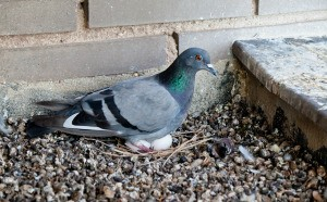 A pigeon sitting on eggs in gravel.