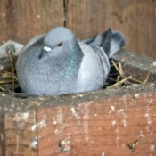 Pigeon nesting in a box.