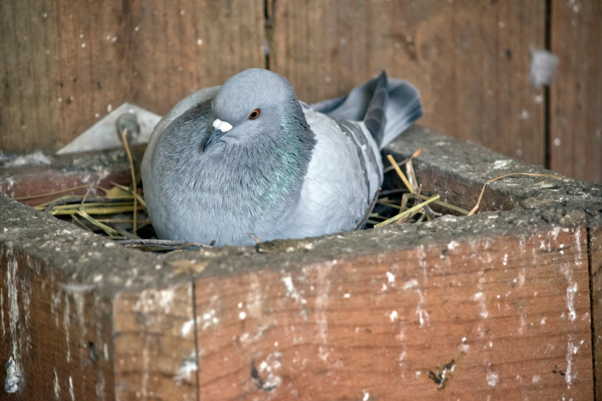 Getting Rid of a Nesting Pigeon