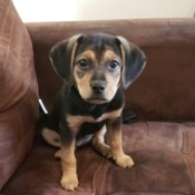 What Breed Is My Pup? - black and tan puppy