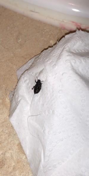 Identifying a Black Beetle Looking Bug