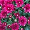 Chrysanthemums -  dark pink blooms