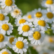 Growing Feverfew - closeup of flowers