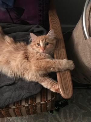 What Breed Is My Cat? - medium haired orange tabby colored cat