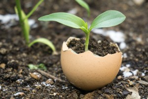 An eggshell growing a seedling in the garden.