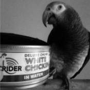 Pepper (Timneh African Grey) - parrot next to a can of chicken