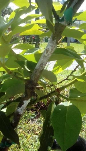 Avocado Tree Has White Powdery Areas on Trunk - something that looks like powdery mildew on trunk