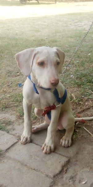What Breed Is My Dog? - cream colored puppy