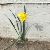 The Lonely Daffodil - daffy against a grey wall with its shadow