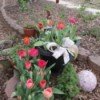 It's Never Too Late For Planting Tulips - blooming tulips in the garden some in a pot
