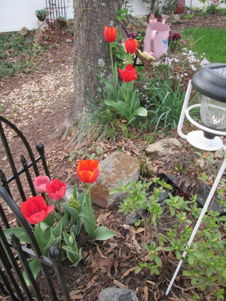 It's Never Too Late For Planting Tulips