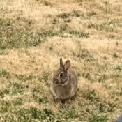 Morning Visitor - Rabbit - wild rabbit in grass