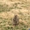 Morning Visitor - Rabbit - wild rabbit in grass