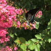 Butterflies Are Free (Spicebush Swallowtail) - beautiful mostly black butterfly against a hot pink crepe myrtle bloom
