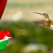 A hummingbird and a hornet going for the same hummingbird feeder.