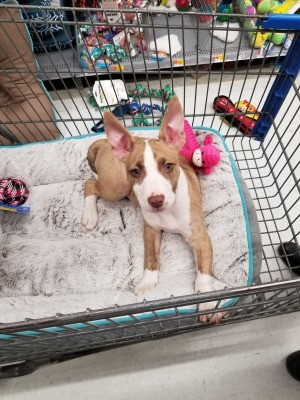 What Breed Is My Dog? - tan and white puppy with standing up ears, maybe part Pit