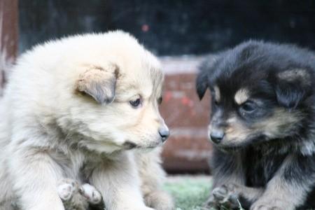 New Himalayan Puppies (Indies)