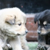 New Himalayan Puppies
